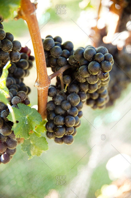 Ripe grapes growing on a vine in a vineyard