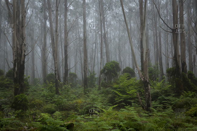 Green ferns among misty trees in Terceira, Azores, Portugal