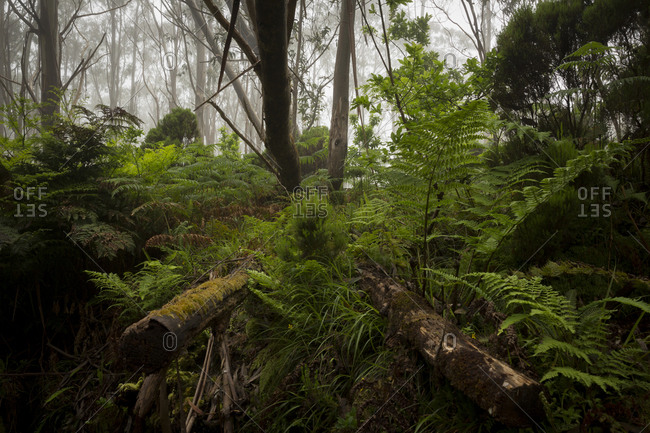 Ferns growing among the woods of Terceira, Azores, Portugal
