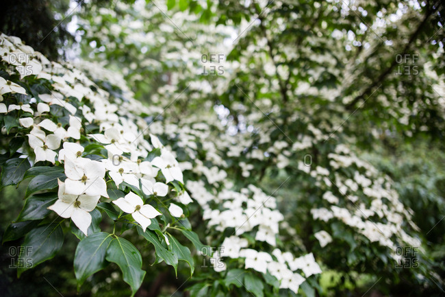 Japanese kousa dogwood tree with white flowers in bloom