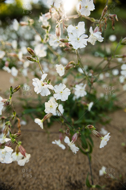 Delicate white wild flowers growing on a sandy beach