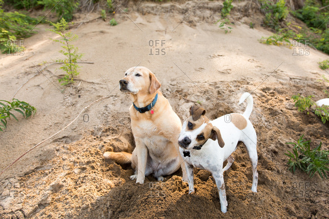 Dogs on a beach digging a hole in wet sand