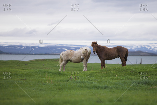 Two Icelandic horses standing in a grassy field