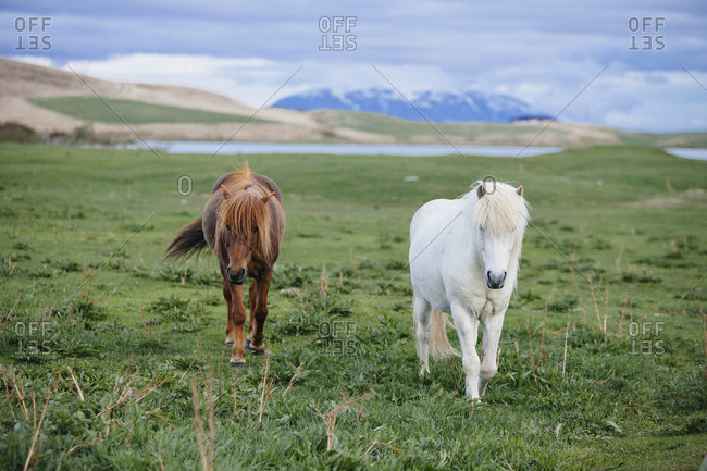 Two Icelandic horses walking towards the camera