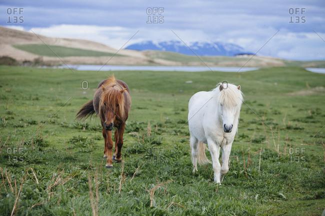 Two Icelandic horses walking towards the camera