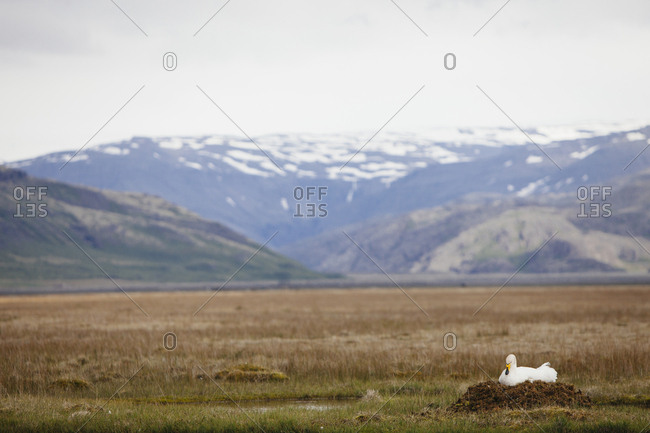 Swan in front of a mountain landscape