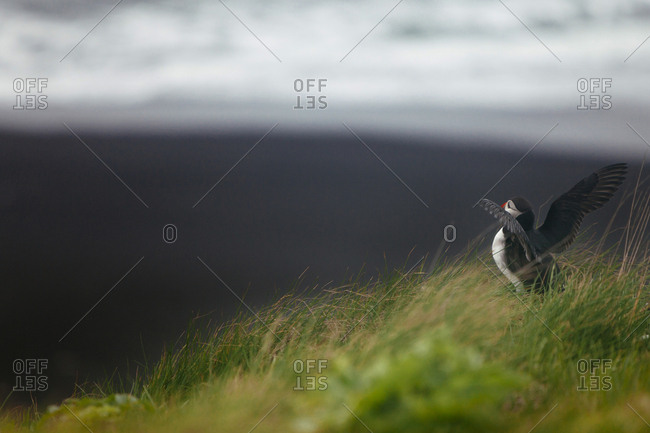 Young puffin with spread wings learning to fly