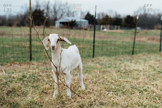 Small young goat on a farm