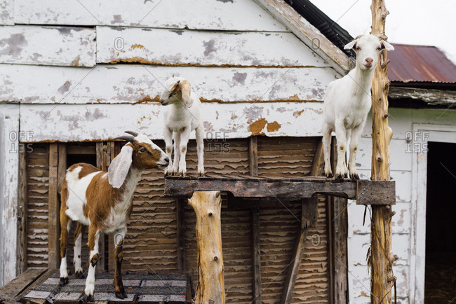 Three goats on a wooden structure on a farm