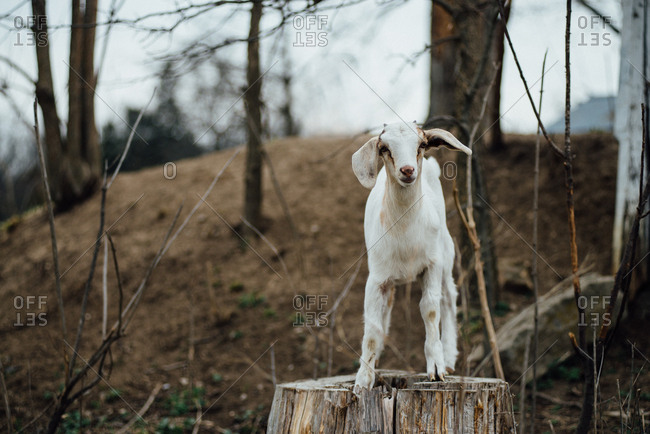 Young goat standing on a tree stump