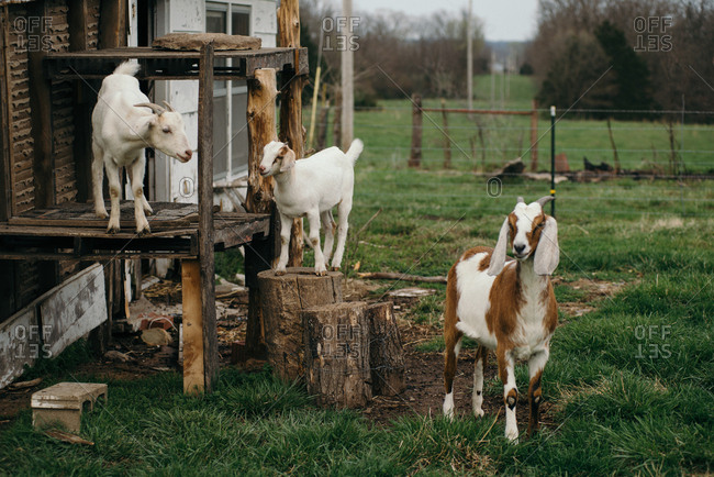 Goats climbing on a wooden structure on a farm