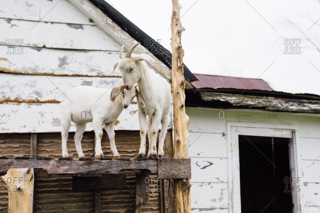 Mother and baby goats on a wooden structure on a farm