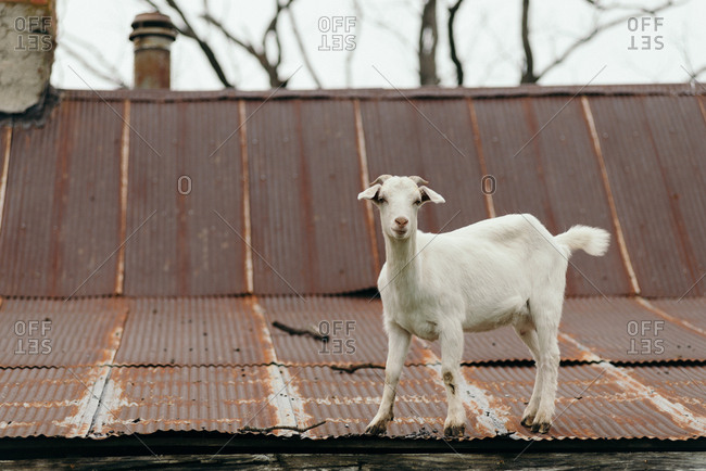 Goat climbing on metal roof on a farm