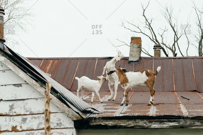 Three goats on a metal roof on a farm