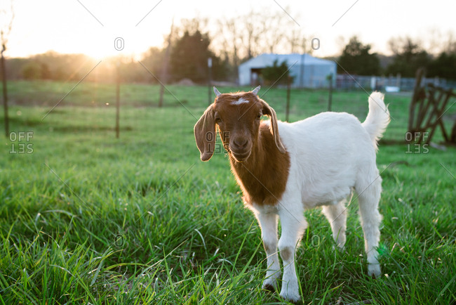 Small goat on a farm at sunset