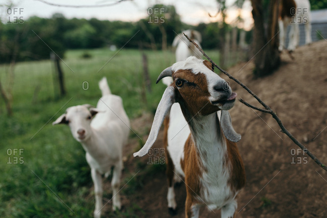 Goat chewing on tree branch