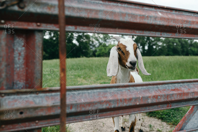Goat looking through metal fence