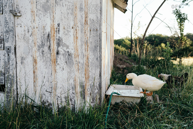 Duck drinking from water tub