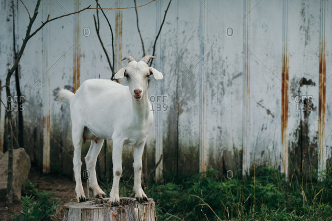 White goat standing on a tree stump by a barn