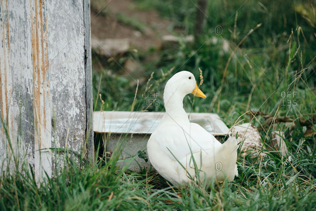 Duck drinking from water trough