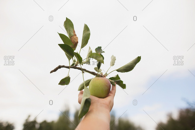 Hand holding apple picked with branch