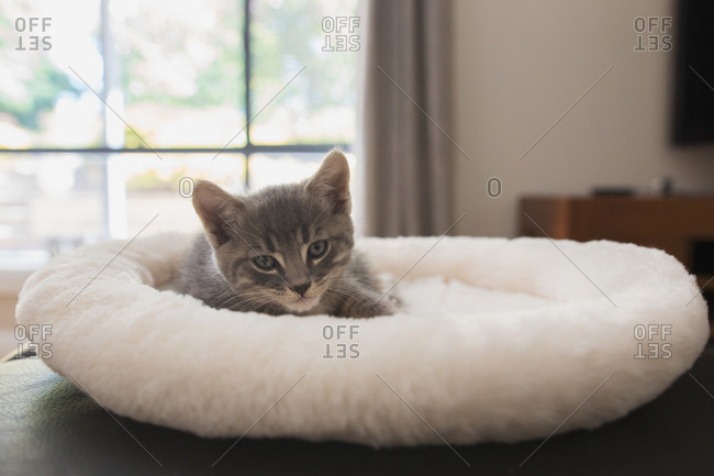 Small gray kitten in a fluffy bed