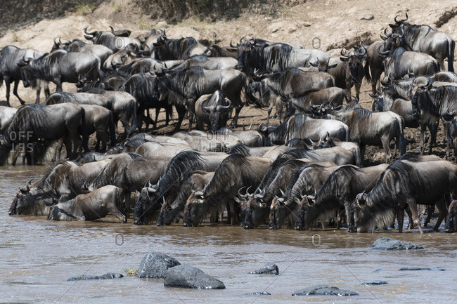 Eastern white-bearded wildebeest (Connochaetes taurinus albojubatus) on the Mara River bank, Masai Mara, Kenya, East Africa, Africa