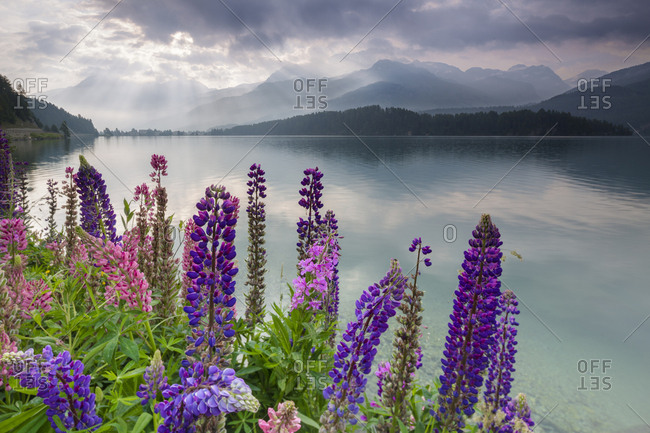 The multi coloured lupins frame the calm water of Lake Sils at dawn, Maloja, canton of Graubunden, Engadine, Switzerland, Europe