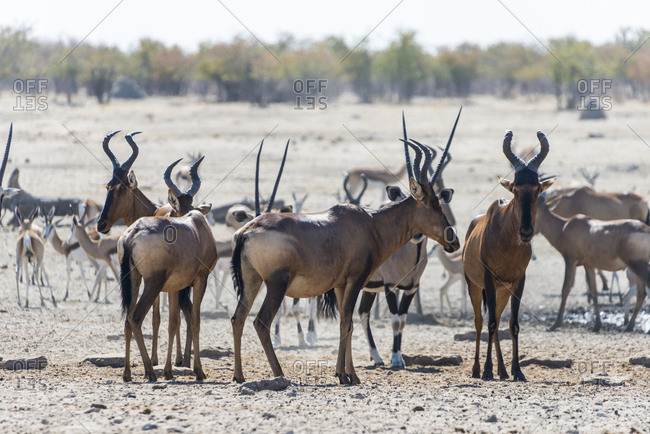 A herd of oryx, Etosha National Park, Namibia, Africa