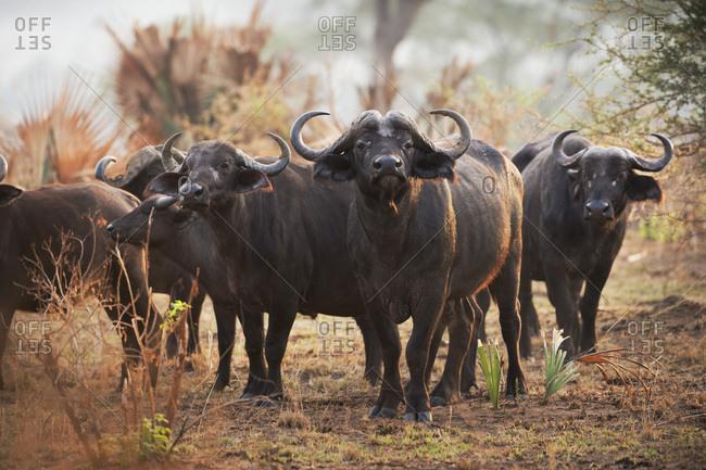 African Buffalo (Syncerus caffer), Uganda, Africa