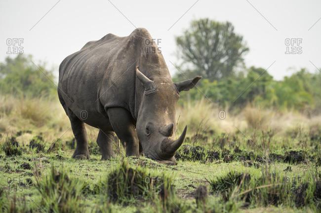 White Rhinoceros (Ceratotherium simum), Uganda, Africa