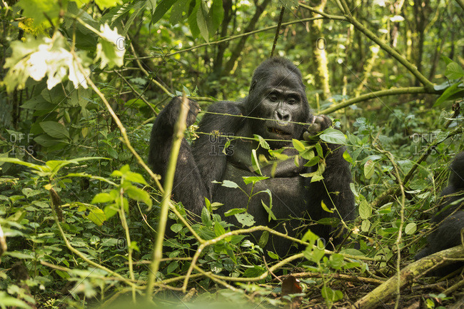 Mountain Gorilla (Beringei beringei), Bwindi Impenetrable Forest, UNESCO World Heritage Site, Uganda, Africa