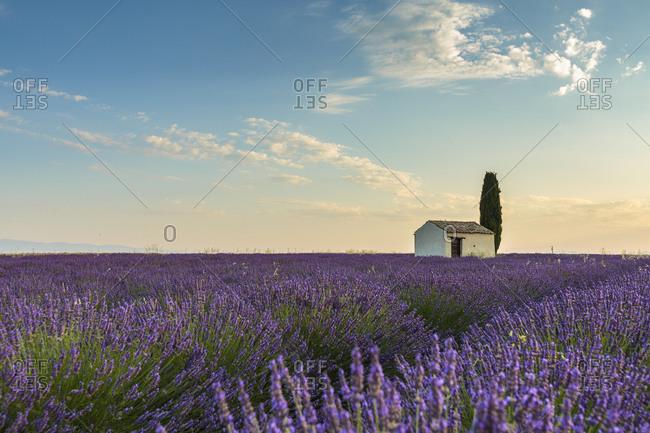 Rural house with tree in a lavender crop, Plateau de Valensole, Alpes-de-Haute-Provence, Provence-Alpes-Cote d'Azur, France, Europe