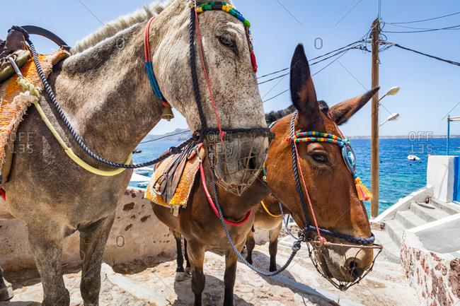 Donkeys and mules take tourists and goods from Oia to Ammoudi Bay (Amoudi) at the bottom of the steps below, Santorini, Cyclades, Greek Islands, Greece, Europe