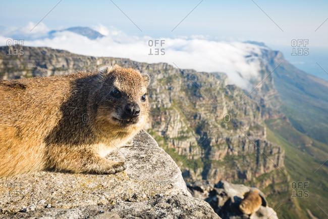 Rock Dassie (hyrax) on top of Table Mountain, Cape Town, South Africa, Africa