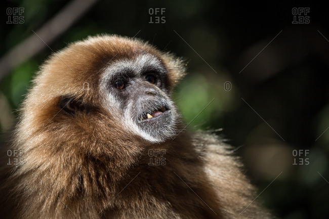 Female Gibbon at Monkeyland Primate Sanctuary in Plettenberg Bay, South Africa, Africa
