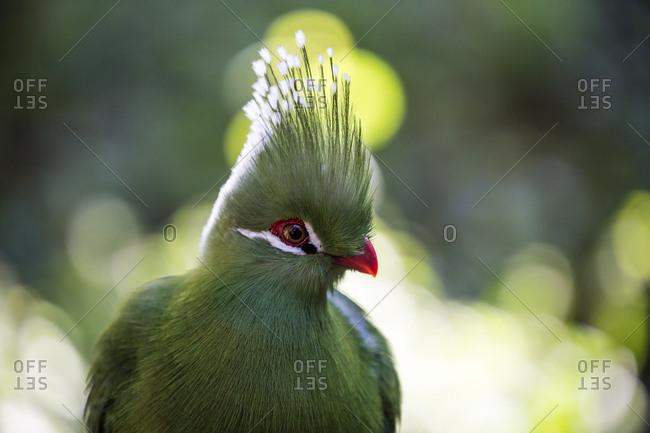 A forest bird at Birds of Eden in Plettenberg Bay, South Africa, Africa