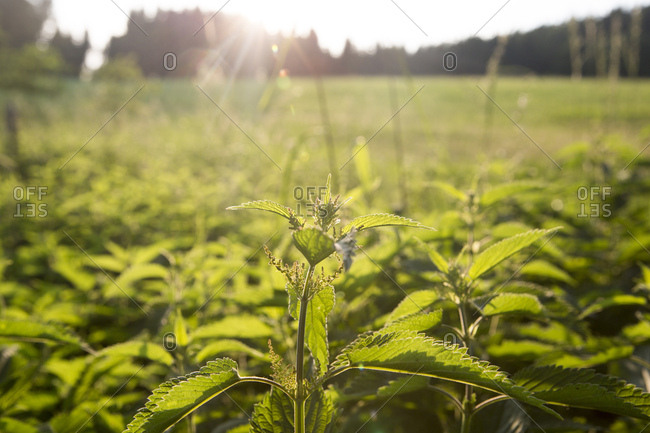 Stinging nettle at backlight