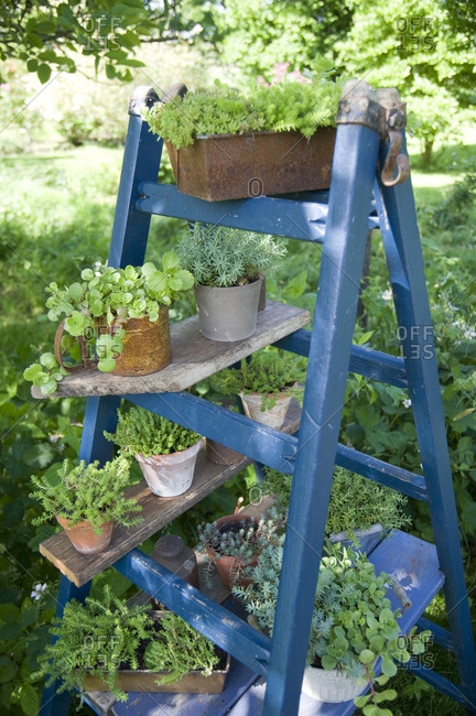 Potted plants on blue ladder in the garden