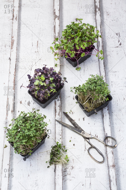 Variety of organic cress and scissors on white wood