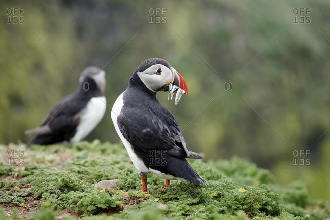 UK- England- Skomer- Atlantic puffin with prey
