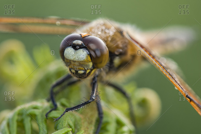 Portrait of four-spotted chaser