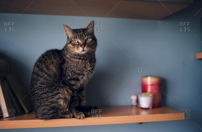 Portrait of tabby cat sitting on a shelf