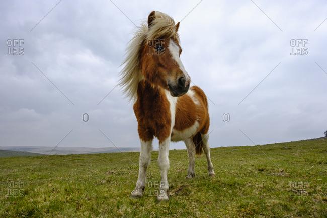 UK- Devon- Dartmoor pony at Dartmoor National Park
