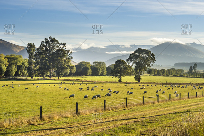 New Zealand- South Island- Southern Scenic Route- Fiordland National Park- flock of sheep