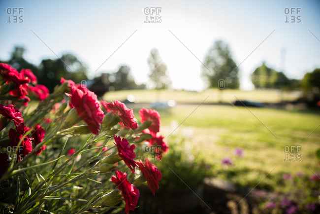 Red carnations growing in a garden