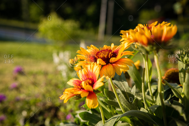 Close up of yellow and red blanket flowers