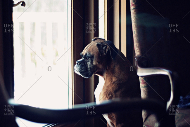 Boxer dog looking through window