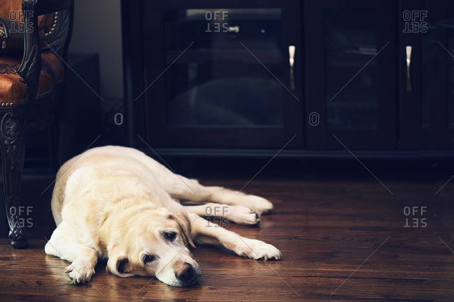 Labrador lying on floor, portrait