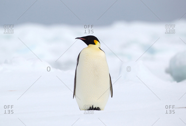 Emperor penguin on the ice floe in the southern ocean, 180 miles north of East Antarctica, Antarctica